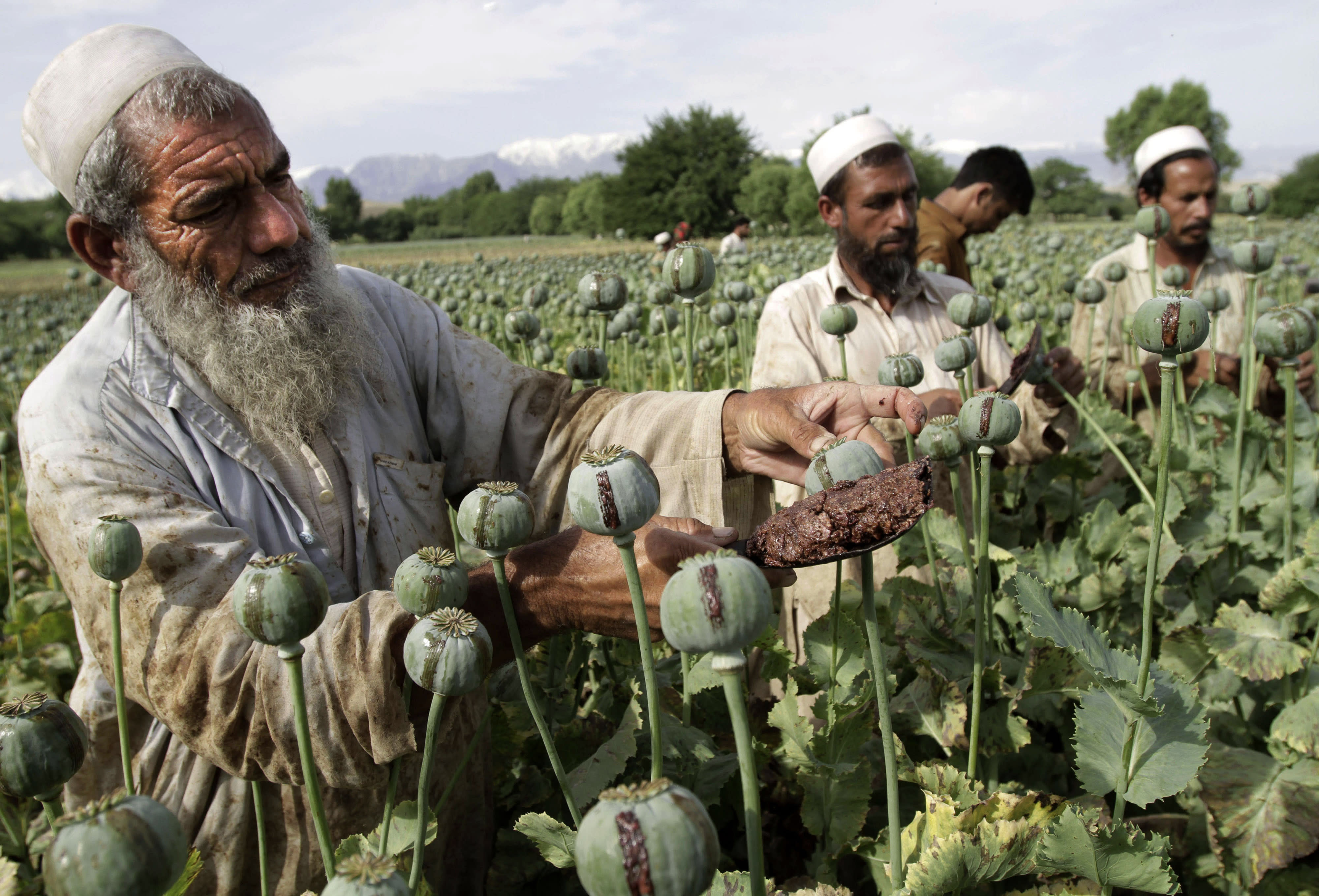 FILE - In this May 10, 2013 file photo, Afghan farmers collect raw opium as they work in a poppy field in Khogyani district of Jalalabad, east of Kabul, Afghanistan. Afghanistan's opium production surged in 2013 to record levels, despite 12 years of international efforts to wean the country off the narcotics trade, according to a report released Wednesday by the U.N.'s drug control agency. (AP Photo/Rahmat Gul, File)