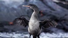 Galapagos: augmentation record du nombre de pingouins et de cormorans