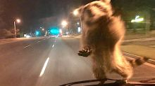 Gutsy Raccoon Gives New Meaning To 'Police Ride-Along'