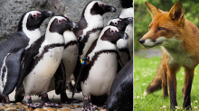 Horror at Chessington as fox breaks in and kills eight penguins