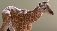Gorgeous Baby Giraffe Steals the Show at Australia Zoo