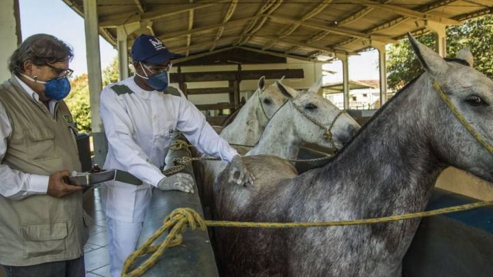 Covid-19: cavalos produzem anticorpos 50x mais 'fortes'