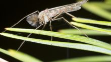 In praise of the midges pestering footballers in the World Cup