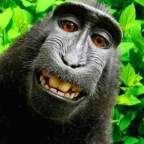 Court rules monkey does not own copyright to selfie as only humans can take them