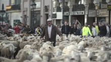 Shepherds drive 1,300 sheep through the centre of Madrid