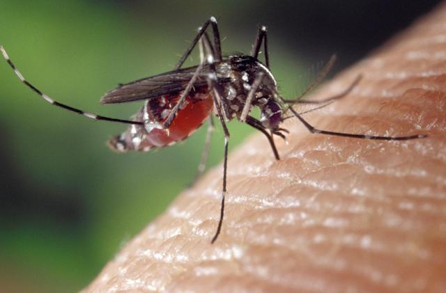 EPA approves 'good guy' mosquitoes to battle Zika