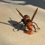 1st nest of so-called 'murder hornets' discovered in the US