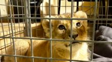 Driver arrested after French police discover lion cub in Lamborghini in Paris