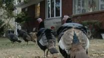 Turkeys Take Over New York Neighborhood