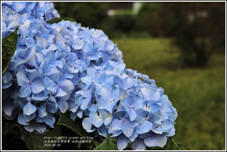 赤柯山繡球花-2018-06-08.jpg