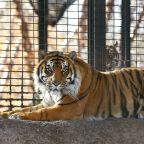 Zoo investigates animal handling after tiger attacks worker