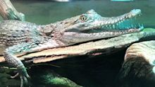'Heartless' thieves steal two snakes and baby crocodile from Canberra zoo