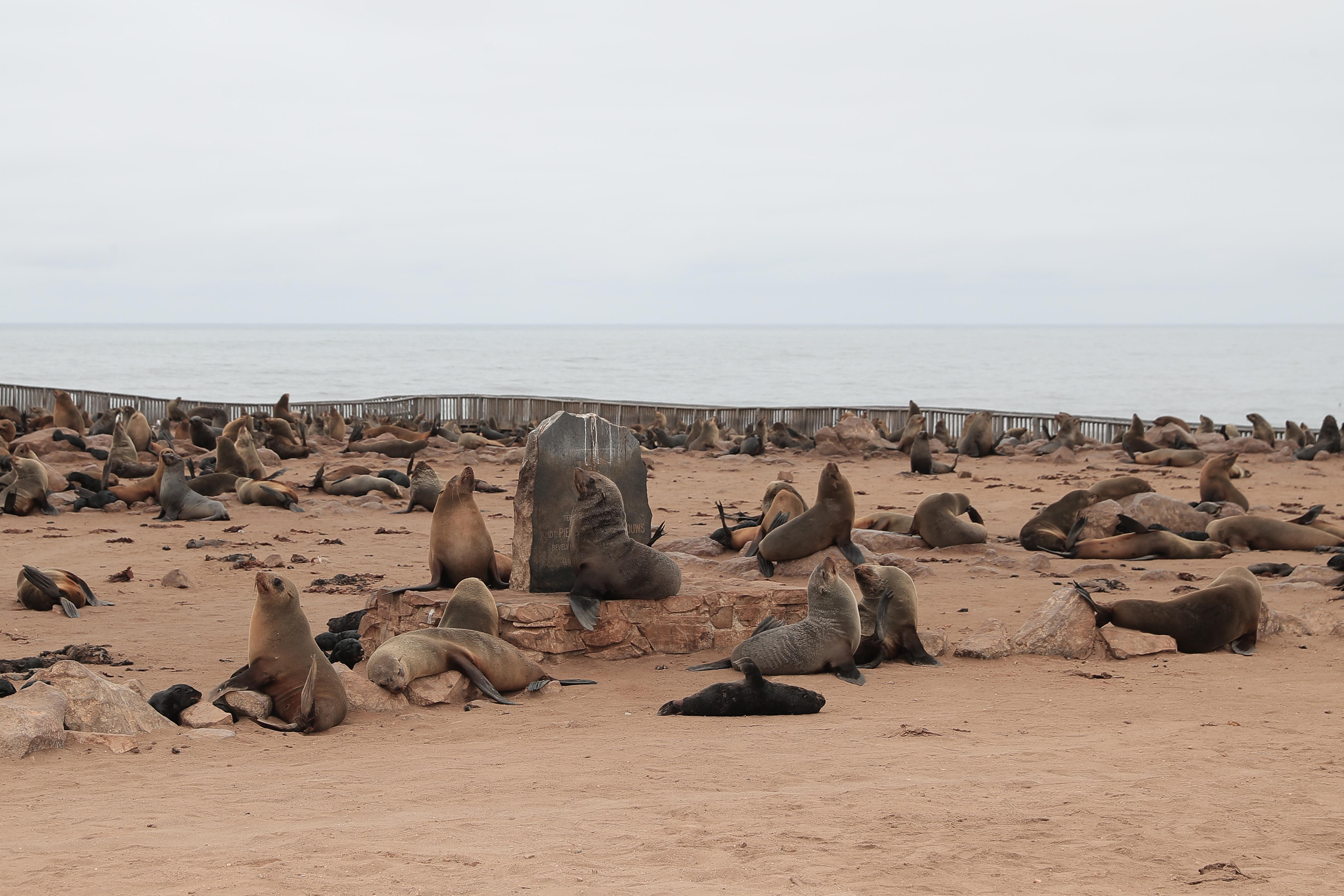 <p>Cape fur seals gather at a marker at Cape Cross Seal Reserve, as the remains of dead seals fill the beach. (Photo: Gordon Donovan/Yahoo News) </p>
