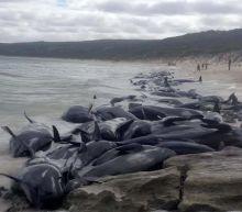 Shark alert as more than 130 beached whales die in Western Australia