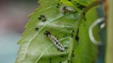 How to control aphids in your garden
