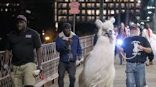 Caesar 'the no drama llama' is helping keep the peace at the Portland protests