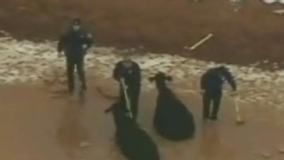 Raw Video: Cows Rescued From Local Pond