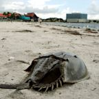 Horseshoe crabs may be the answer to a safe coronavirus vaccine next year. Here's why.