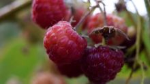 How a Chilean raspberry scam dodged food safety controls from China to Canada