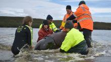 Helfer bergen letzten überlebenden Wal nach Massenstrandungen vor Tasmanien