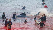 Faroe, ritorna la tradizionale e controversa mattanza di mammiferi marini