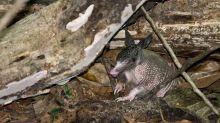 La mitad de los armadillos del Amazonas tienen la lepra