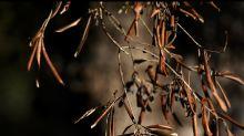 La Puglia è invasa da parassiti 'alieni' arrivati col caldo torrido