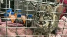 Baby Bobcat Seeks Refuge in California Gas Station