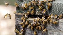 Summende Überraschung: Ehepaar entdeckt 450.000 Bienen in neuem Haus
