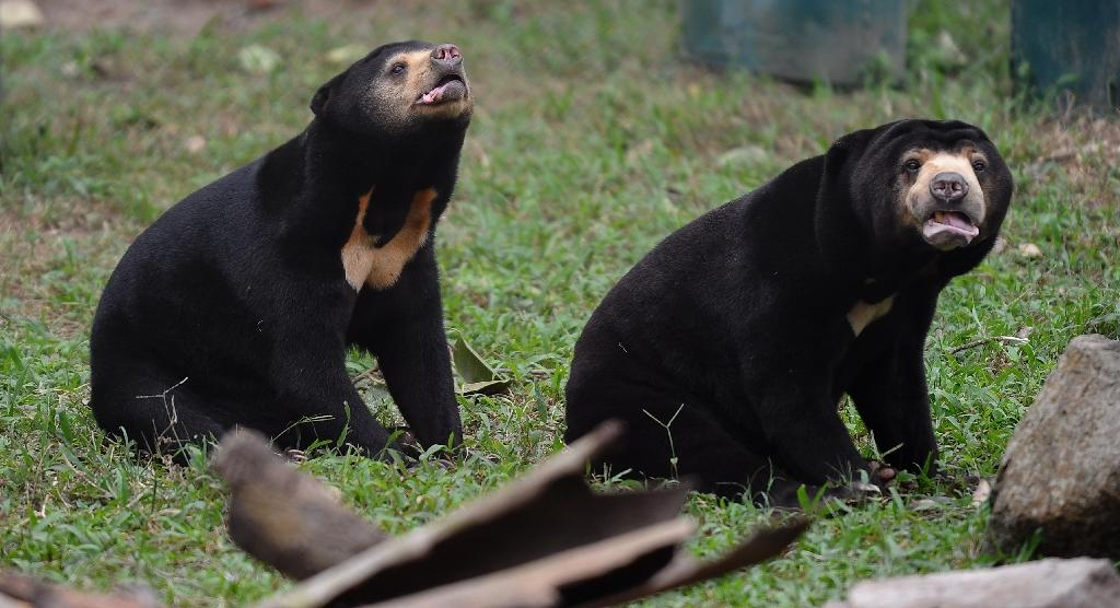 Timber harvested in Malaysia and exported mainly to the EU and China has robbed the Asian elephant, the greater spotted eagle and the Sun bear (pictured) of habitat (AFP Photo/HOANG DINH NAM)