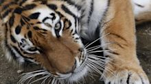 Trade of tiger parts in Singapore shops has fallen sharply: ACRES