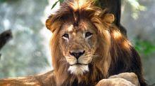 ¿Por qué la leona Zuri mató al padre de sus cachorros en el zoológico de Indianápolis?