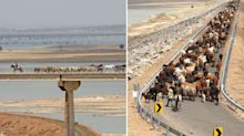 'This is awesome': Stunning photos of cattle moving down highway