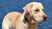 Where are you, Buckaroo? Owners in desperate search for stolen dog