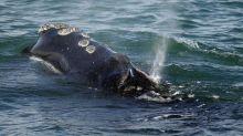 Wind developer seeks proposals for whale monitoring system
