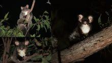 """Encuentran dos especies de mamíferos """"voladores"""" en Australia"""