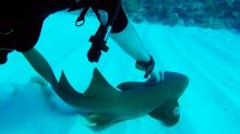 Baby shark follows divers, gets scratch on the head
