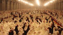 """El engaño de los huevos número 2 de gallinas criadas  """"en suelo"""" y """"en libertad"""""""