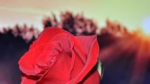情人節愛送花 先搞清楚玫瑰顏色和數量的意義!