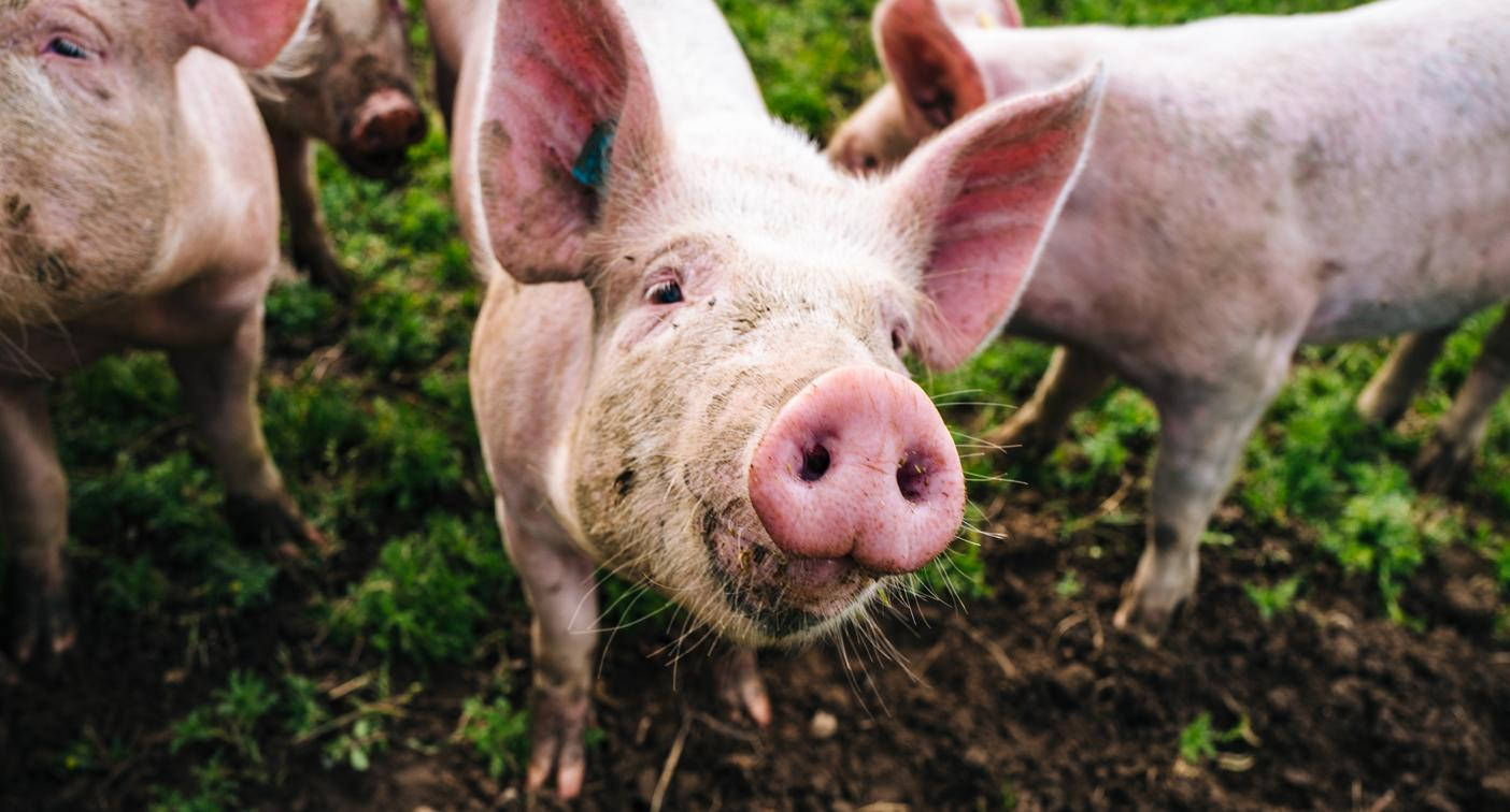Fears new pig virus could spread to humans