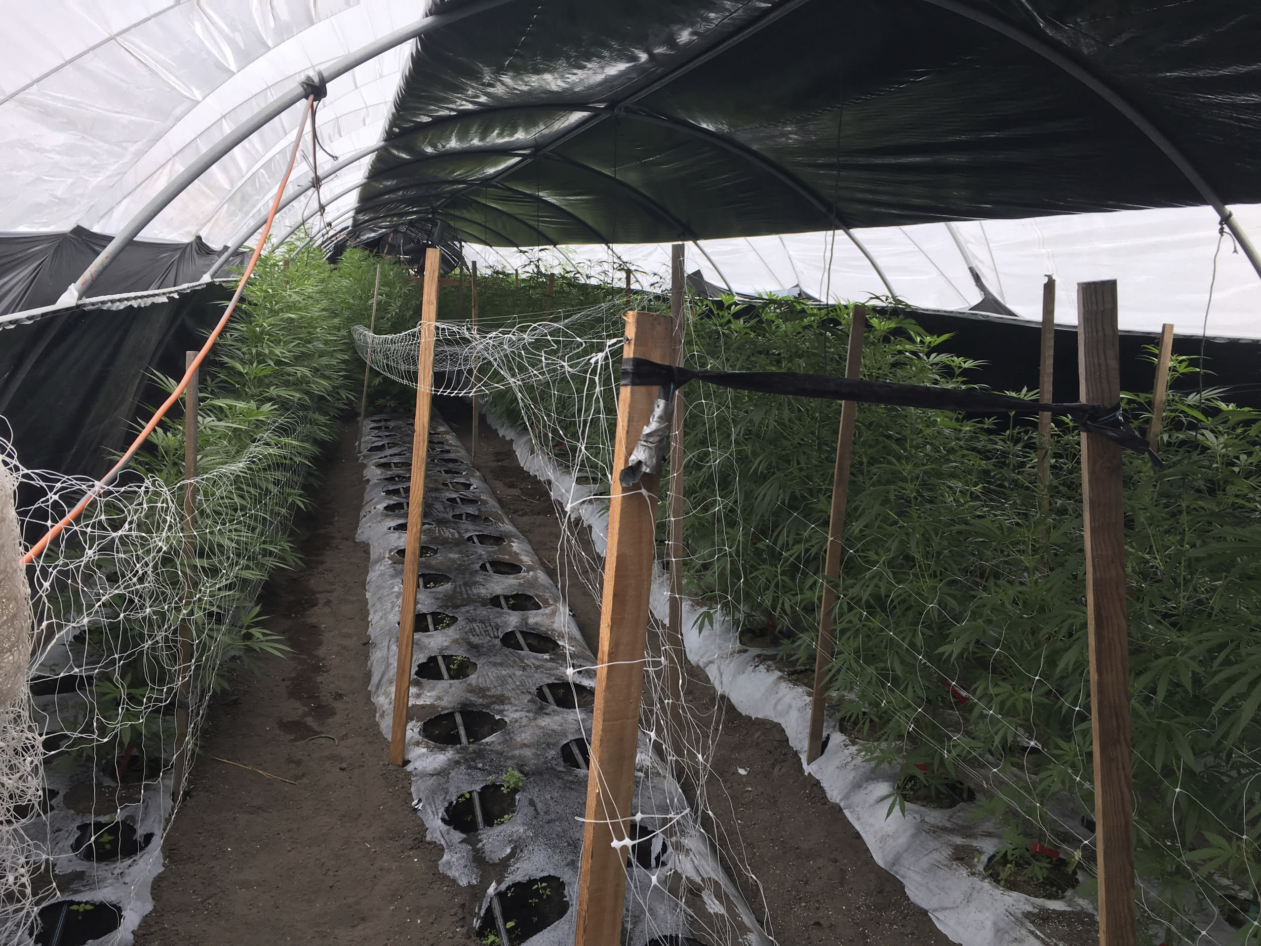 FILE - This Wednesday, June 19, 2019, file photo released by the Santa Barbara County Sheriff shows an illegal cannabis cultivation site in the City of Santa Maria, in San Luis Obispo County, Calif. The number of felony marijuana arrests in California continued to plunge in 2019 in the age of legalization, but another trend remained unchanged: those arrests fell disproportionately on Hispanics and Blacks, state data showed. (Santa Barbara County Sheriff via AP, File)