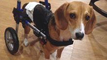Cane maltrattato resta paralizzato, la sua storia vi commuoverà