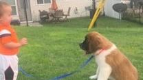 Two-Year-Old Boy and St Bernard Puppy Play in Back Yard