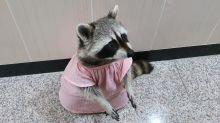 Raccoon wears a pretty dress to taste new snacks