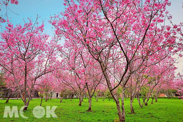 莊園種植粉色吉野櫻 (圖片提供/黃風)