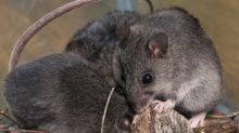 NSW jail evacuated because of mice plague