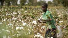 Mali : la culture du coton en chute de 75% pour la campagne en cours