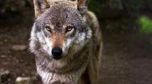 Un parc à loups détruit par les crues dans les Alpes-Maritimes