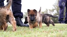 Watch adorable police puppies report for duty in Queensland, Australia