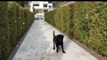 Black Lab Overwhelmed by Hundreds of Bouncing Balls